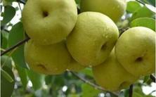 这个冬天酥梨style不停歇 砀山县长亲自来卖货