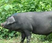 克东县建基地树品牌 打造黑猪产业引领精准扶贫