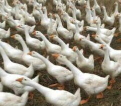 林口县抓升级做大做强鹅产业