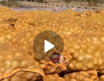宁夏马铃薯产业精准扶贫效应明显