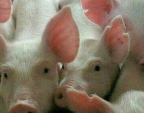龙江县2018年1季度生猪生产效益调研及对策分析