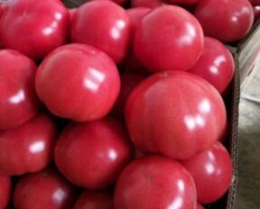 番茄集中上市价格大跌 分析师:后期难回暖