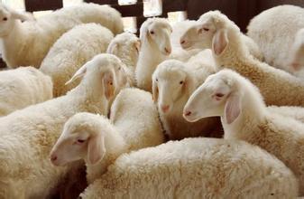 梁山名优特产:小尾寒羊