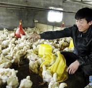 鸡苗价格 质量