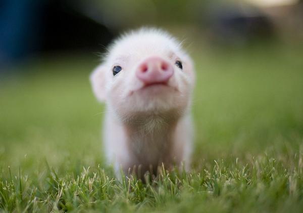 猪跑过来的动态图