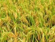 我国当选粮农遗传委工作组成员