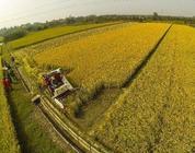 河南淮阳农业项目烂尾 千亩高粱迟迟未收