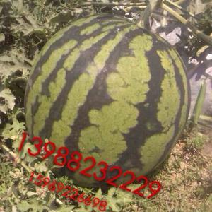 熟西瓜籽皮制作的动物图片