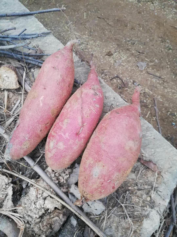 西瓜红红薯大量出售,基地批发