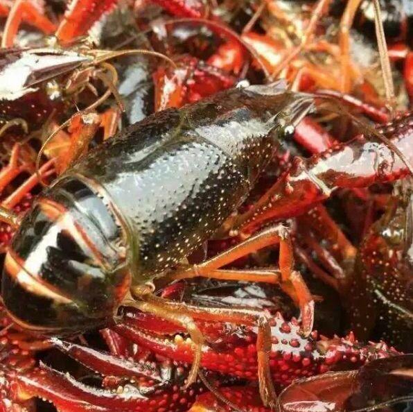 怎么处理活的龙虾图解