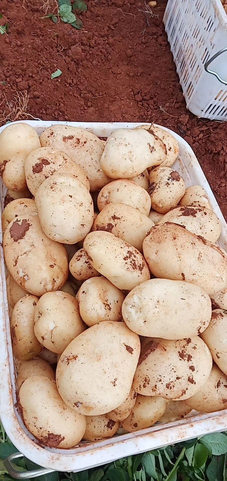 【优选商家】云南精品土豆 丽薯六号 一手货源 对接全国
