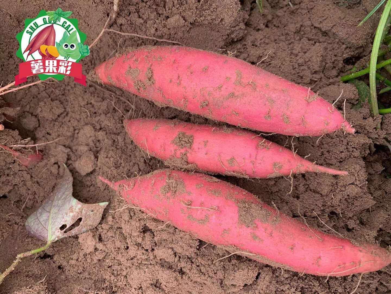 精品西瓜红红薯,产地直供,量大货优,欢迎选购