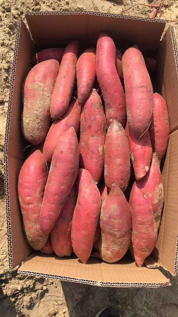 西瓜红红薯,黄河白沙地,产地直销,中间没代办费