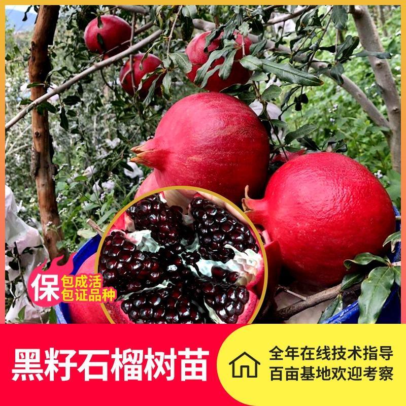 黑籽石榴树苗 基地直销 现挖现卖 包真包活 山东水果种苗