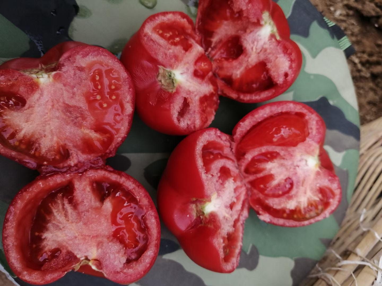 硬果西红柿大量上市有需要的联系