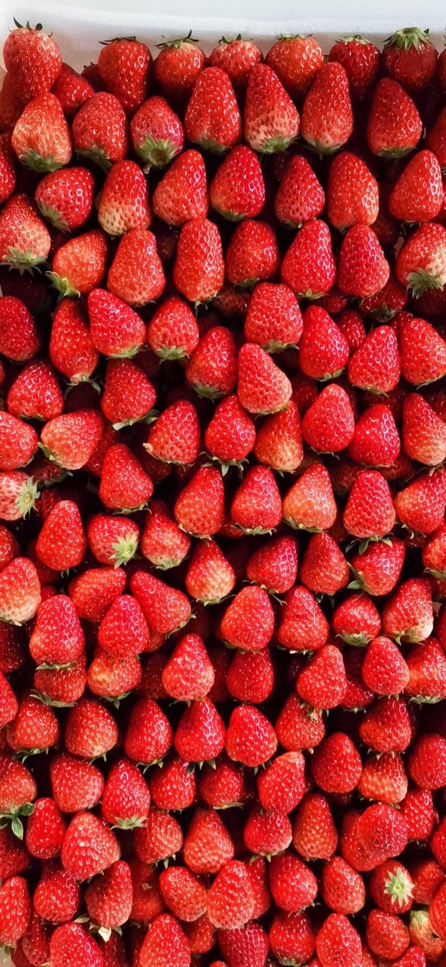 红颜草莓,原产地自家种植,也可代办代收
