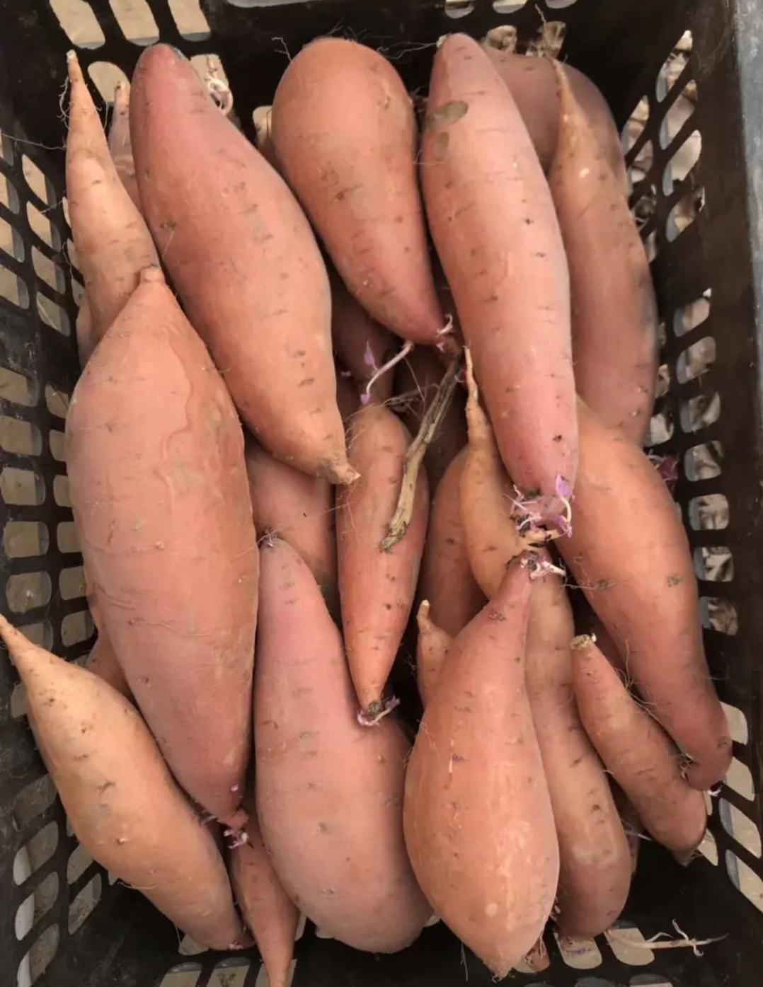 精品 红薯:烟薯25 红香蕉 来福 质量保证全国发货