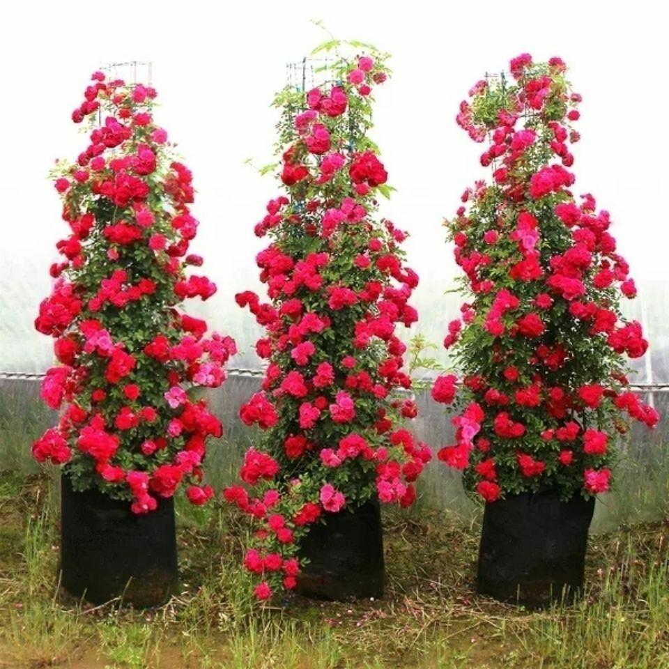 甜蜜红木香黄木香花苗爬藤植物盆栽浓香四季开花好养庭院耐寒