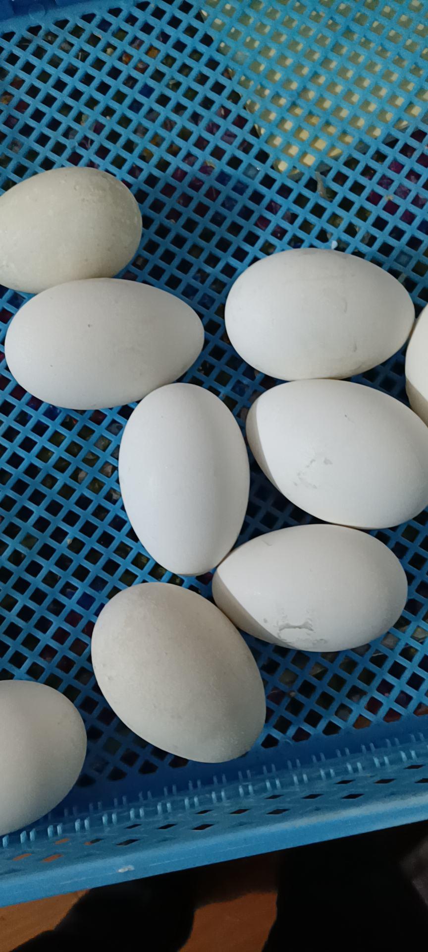 驼鸟蛋,驼鸟苗,狮头鹅,狮头种蛋出售