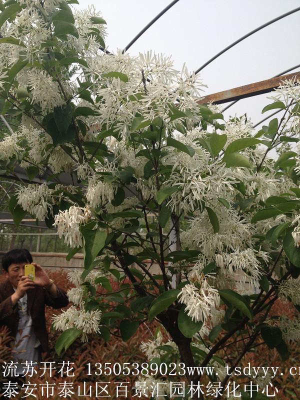 山东泰山区流苏树