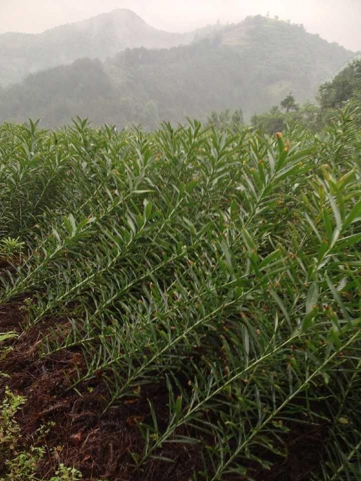 中药百合植物图片