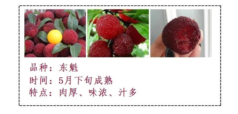 云南富民县荸荠种