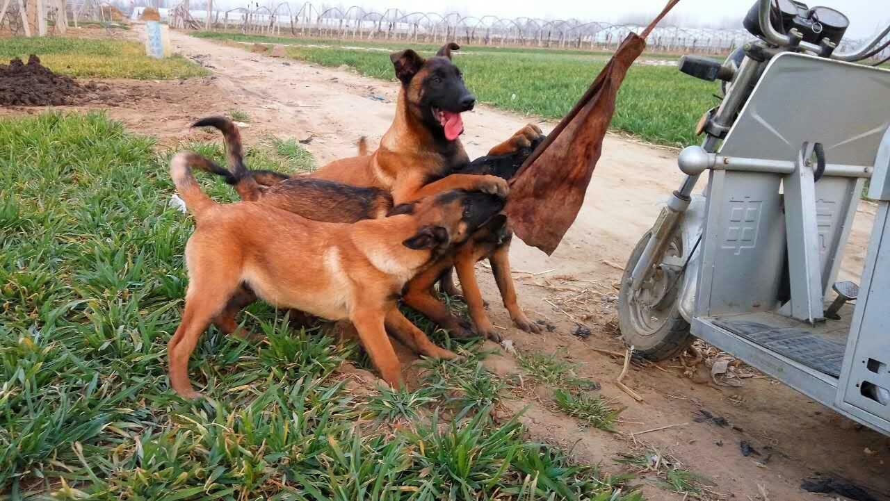 马犬帕拉丁图片